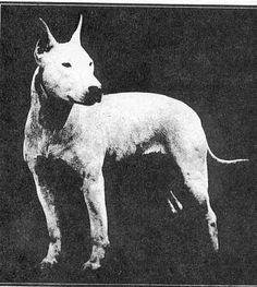 Resultados de la Búsqueda de imágenes de Google de http://dogs.bsl-sbt.com/imagefiles/dogsimages/hinksbullterrier_blackandwhite.jpg