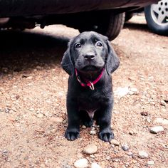"Black Lab Retriever Puppy : This puppy reminds me of my child hood dog, ""Blacky"" who was also my guardian angel.  I miss him. :9"