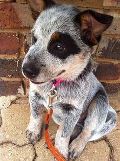 Australian Cattle Dog Puppy...OMG! #LorisPetCare