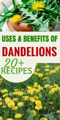 DANDELION USES & BENEFITS. Check out this simple guide to the benefits & amazing dandelion uses. Plus, over 20 recipes! Cold Home Remedies, Natural Health Remedies, Natural Cures, Herbal Remedies, Natural Life, Natural Healing, Dandelion Uses, Dandelion Recipes, Dandelion Benefits