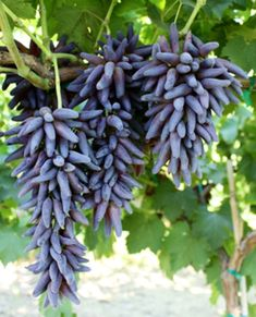 Witches Fingers grapes--simply perfect for little Halloween ghouls!