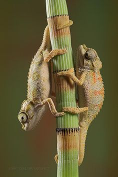 chameleons - love to watch these little guys