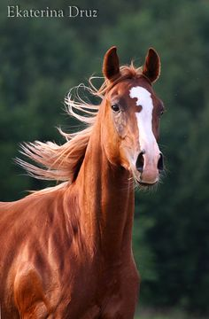 Arab - photos - equestrian.ru