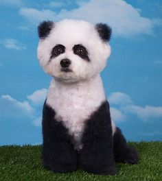 A poodle creatively groomed into a panda design in United States. (Barcroft) - Tap the pin for the most adorable pawtastic fur baby apparel! You'll love the dog clothes and cat clothes! <3