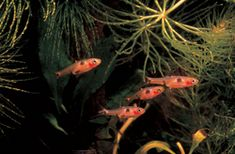 The pygmy rasbora is an ideal fish for a nano aquarium setup. While each individual is beautiful, the cumulative efffect of a large group adds to this display. A nice school can be kept in a desktop aquarium with some Java moss, whose deep green will contrast nicely with the scarlet fish; this plant also thrives under subdued lighting that these fish prefer.