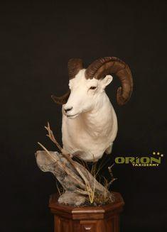 Walnut Base Dahl Dahl, Taxidermy, Sheep, Goats, Lion Sculpture, Statue, Animals, Animales, Animaux