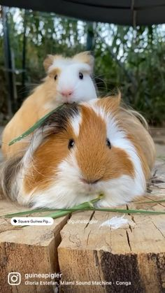 Cute Little Animals, Cute Wild Animals, Baby Animals Pictures, Happy Animals, Cute Funny Animals, Baby Guinea Pigs, Guinea Pig Care, Exotic Pets, Exotic Animals