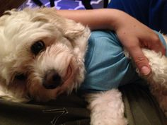 Tobi being lazy - Cavachon :)
