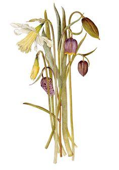 The wonderful botanical drawings of Helga Crouch - Telegraph Botanical Drawings, Botanical Art, Botanical Illustration, Spark Art, Amazing Nature, Plant Hanger, Ornament, Floral Paintings, Art Prints