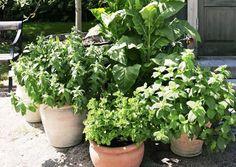 Välimeren alueen kasvit menestyvät auringonpaisteessa. Istutukset tarvitsevat säännöllistä lannoitusta ja reipasta kastelua. Lue VIherpihan vinkit.