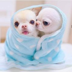 The Cutest Little Chihuahuas Ever 🧡 Teacup Chihuahua Puppies, Tiny Puppies, Cute Little Puppies, Chihuahua Love, Cute Dogs And Puppies, Cute Little Animals, Baby Dogs, I Love Dogs, Teacup Pomeranian