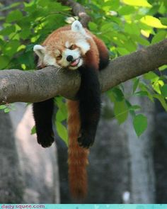 Red Panda - favorite animal ever Funny Animal Pictures, Cute Funny Animals, Cute Baby Animals, Cute Pictures, Panda Tree, Panda Bear, Save The Pandas, Sleepy Animals, Cute Panda