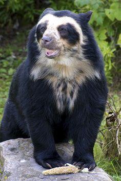 oso de anteojos en vias de extincion