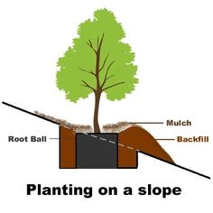 This article provides instructions for how to plant a tree on a slope, hill, or emankment