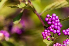 紫式部 とっても小さな紫色の実