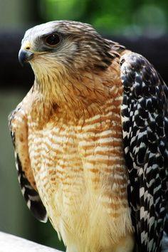 ^Red-Shoulded Hawk