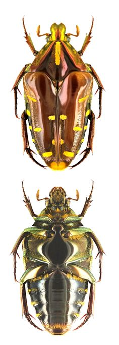 Coelodera kalimantanica - a flower chafer - CETONIIDAE