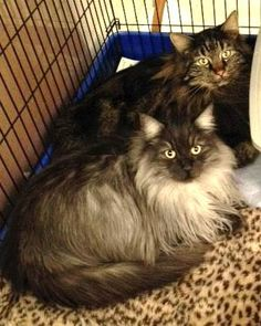 Meet Felix and Oscar, a Petfinder adoptable Maine Coon Cat   San Francisco, CA   Felix and Oscar - Maine Coon - neutered male - four-years-oldFelix and Oscar are two of the most...