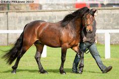 Connemara stallion Eileen's Hero