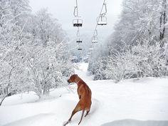 Let's hit the slopes! Rhodesian Ridgeback, Doggies, Bliss, Puppies, Dreams, Pets, Friends, Winter, Diy Dog