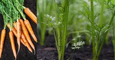 Carrots, Vegetables, Sad, Lawn And Garden, Carrot, Vegetable Recipes, Veggies