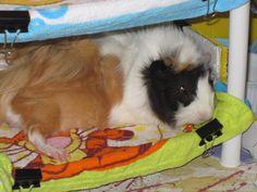 Luniz my guinea pig