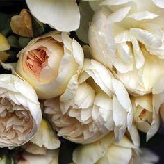 Jessica Zimmerman | ZIMMERMAN | Rose Story Farm | zimmermanevents.com #jessicazimmerman #rose #blooms