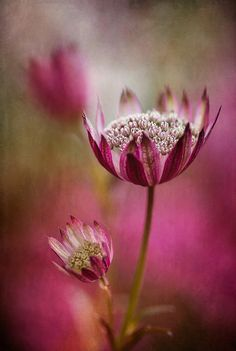 Astrantia by Mandy Disher, via Flickr