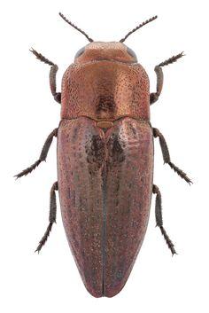 Sphenoptera antiqua (Illiger, 1803)