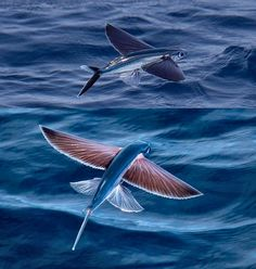 Flying fish can make powerful, self-propelled leaps out of water into air, where their long, wing-like fins enable gliding flight for considerable distances above the water's surface. This uncommon ability is a natural defense mechanism to evade predators.