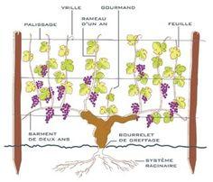 8 Meilleures Images Du Tableau Palissage De Vignes Vigne