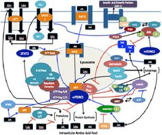 Intracellular Sensing and Transport of Amino Acids and the Downstream Effects on Activation: Implications for Muscle Protein Synthesis by Darryn S Willoughby Food Engineering, Muscle Protein, Amino Acids, Health And Nutrition, Transportation, Journal, Activities