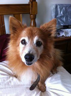 Pomeranian and corgi mix! Benny!!!