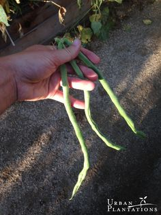 Late harvest of the longest beans I've ever seen!