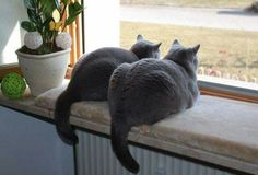 if Heather and Jennifer were twin gray cats they would look like this