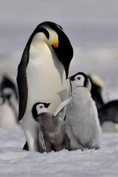 Emperor penguins by *laogephoto Penguin Love, Cute Penguins, Happy Penguin, King Penguin, Animals And Pets, Baby Animals, Cute Animals, Animals Images, Beautiful Birds