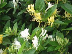 6月2日【スイカズラ(吸葛・忍冬)】学名:Lonicera japonica形態:常緑つる性木本分類:スイカズラ科花色:白色から黄色に変化していく。使われ方:庭木などとして使われています。