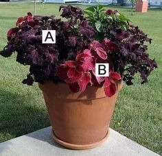 Container Flower Gardening Ideas: A = Black Dragon Coleus, B = Volcano Coleus