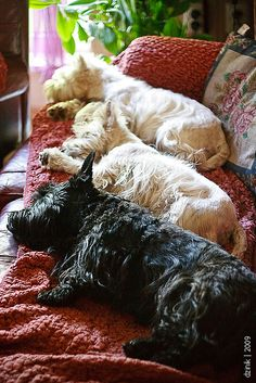 Westies and Scotties take an afternoon nap