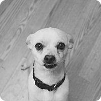 Chihuahua/Dachshund Mix Dog for adoption in Los Angeles, California - Kip
