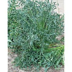 CHOU frisé FIZZ Types Of Kale, Chou Kale, Natural, Medicinal Plants, Herbs, Productivity, Plant, Duck Egg Blue, Lawn And Garden