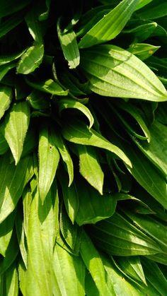 JITROCEL KOPINATÝ - Plantago lanceolata Má snad nejvíce lidových názvů. Říká se mu babka, beraní jazyk, psí jazyk, olověný jazyk, svalník, myší ocas, myší ouško, hojílek, hitrocíl…… Jitrocel zná každý bylinkář i ten začínající, a pokud ne, rychle své mezery dožeňte, je to bylinka, která by neměla chybět v žádné domácí bylinkové lékárničce. Jakmile první… Life Is Good, Plant Leaves, Herbs, Plants, Diet, Life Is Beautiful, Herb, Plant, Planets