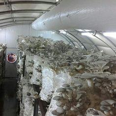 Mükemmel lezzette istiridye mantarları tekirdag üreticisi