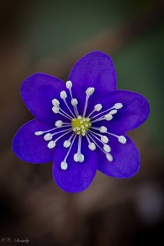 ~~Anemone hepatica by nemi1968~~