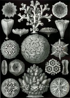 Ernst Haeckel| Art Forms of Nature, Hexacoralla, 1904.