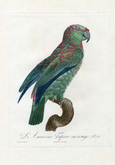 Jacques Barraband Antique Parrot Prints 1801