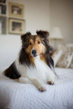 Collie..reminds me our beautiful Collie called Chris when I was a kid.Se saved our kids lives so many times, dragged off roads before cars hit us, parked herself under a window and barked till Mum saw me on a window sill of a 2 story house. She was an amazing dog!