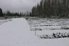 taimien talvetus