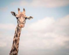 I'm warching you....#giraffe #iloveafrica #africa #tanzania #photography #picoftheday #beautiful #travel #trip #safari #travelgram #wildlife #ilovegiraffes #sky #adventure #instagood #instadaily #clouds