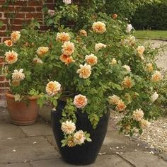 Search results for: 'roses david-austin-english-roses grace' Rosas David Austin, David Austin Rosen, Growing Carnations, Growing Roses, Container Flowers, Container Plants, Succulents Garden, Garden Pots, Planter Rosier